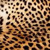 Noir,animaux,léopard (84)
